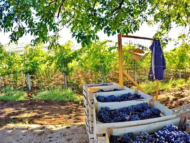 Berba grožđa domaćinstvo Bojanić u Pridvorcima