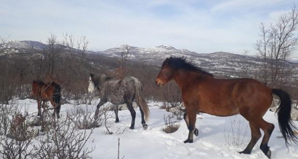 divlji-konji-trebinje3.jpg